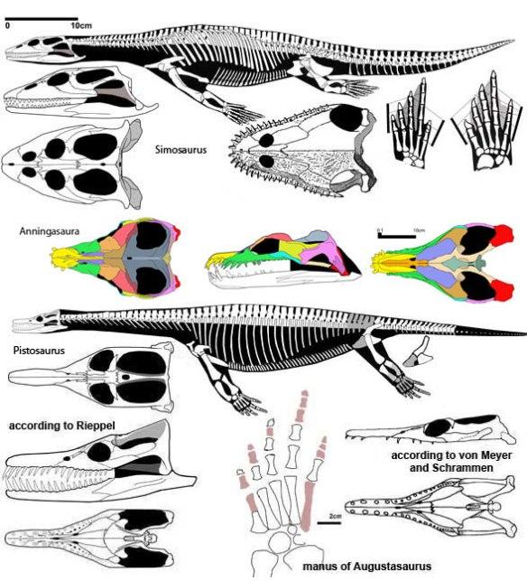 Figure 2. The sisters of Anningsaura, Simosaurus and Pistosaurus.