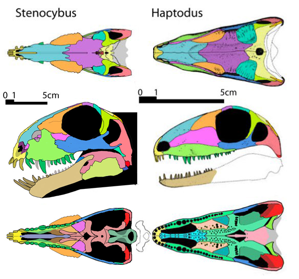 Figure 1. Comparing the basal therapsid Stenocybus to the basal sphenacodont, Haptodus. The similarities are great here, but Stenocybus still nested closer to Ophiacodon.