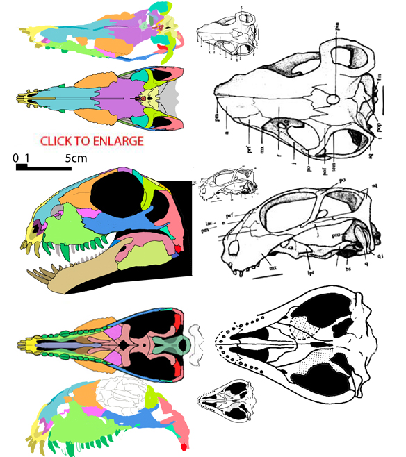 Figure 1. The skulls of Stenocybus and Patranomodon, side by side and to scale (the smaller Patranomodon illustrations are to scale with Stenocybus). If larger eyes and a shorter snout are indeed signs of neotony in this lineage then we may be seeing the evolution of one form into another here. While the skull of Patranomodon appears wider, that is about the only dimension that has remained the same in the otherwise overall reduction of this taxon from Stenocybus. Note, in particular, the similar palates as Stenocybus transits from the pelycosaurian-grade palate to that approaching the dicynodont grade. This illustration improves on an earlier attempt.
