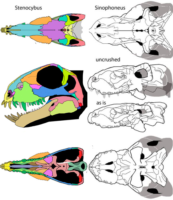 Figure 1. Stenocybus (left) is considered a juvenile Sinophoneus (right) by Kammerer (2011). I think the changes are too great. You be the judge. Also note the differences in the new Stenocybus reconstruction, including the palate. Crushing and cracking make both skulls difficult to restore the sutures. If I have made any mistakes, please bring them to my attention.