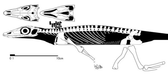 Heleosaurus, an ancestral taxon to Milleropsis.