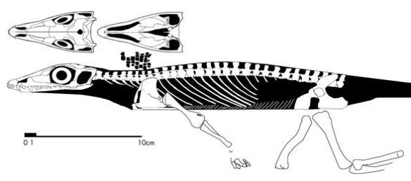 Heleosaurus, an ancestral taxon to Milleropsis.