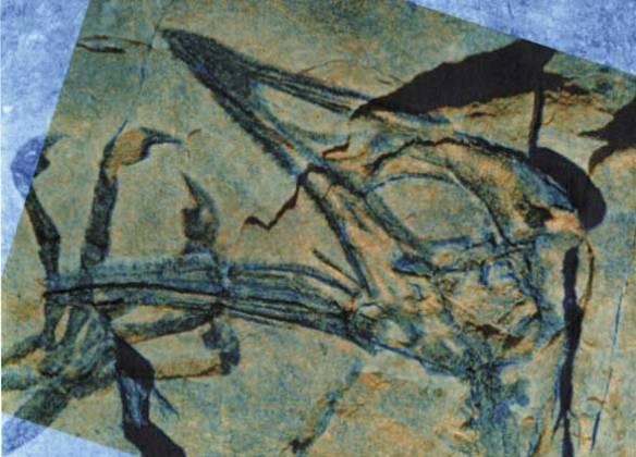 Both part and counterpart of Megalancosaurus superimposed.