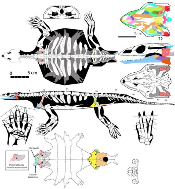 Figure 1. Click to enlarge. Odontochelys the quasi-turtle in dorsal, lateral and ventral views. The same for the skull.