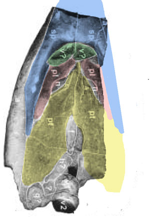 Omphalosaurus palate with elements colorized.