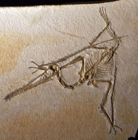 Pterodactylus from the Houston Museum Archaeopteryx exhibit 2010, counterplate.