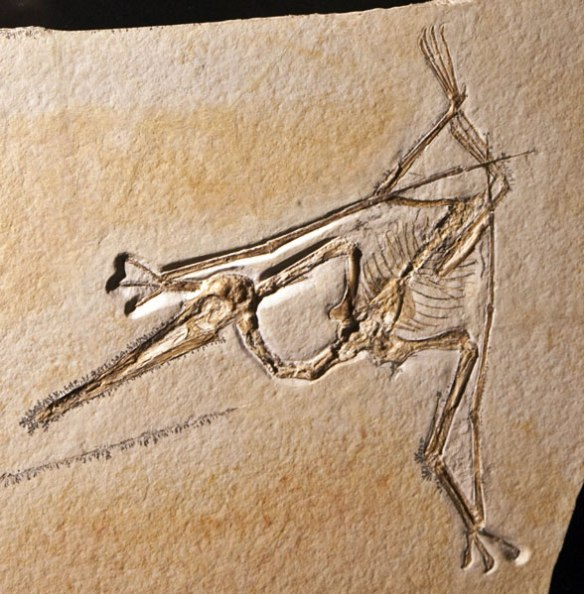 Pterodactylus from the Houston Museum Archaeopteryx exhibit 2010, plate.