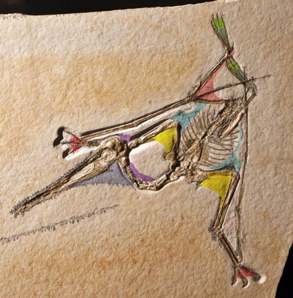 Pterodactylus from the Houston Museum Archaeopteryx Exhibit 2010 with color overlays for soft tissue preservation.