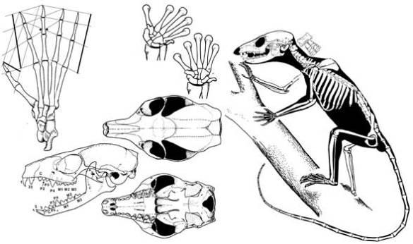 Ptilocercus, pen-tailed tree shrew