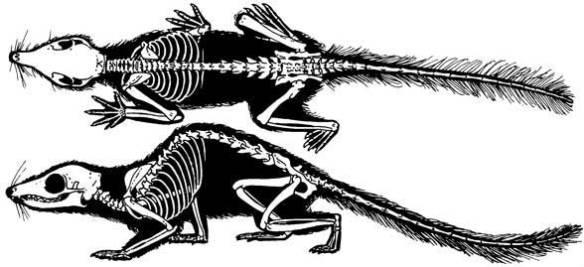 Tupaia, the large tree shrew,