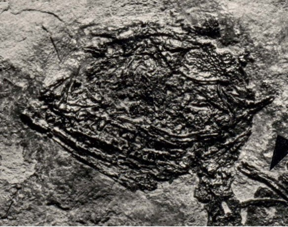 The skull of Vallesaurus in situ.