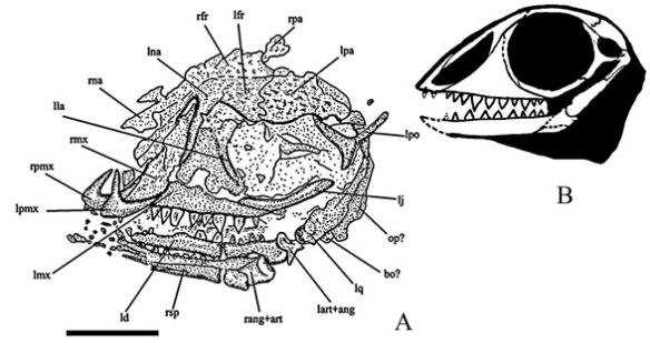 The skull of Vallesaurus as interpreted by Renesto