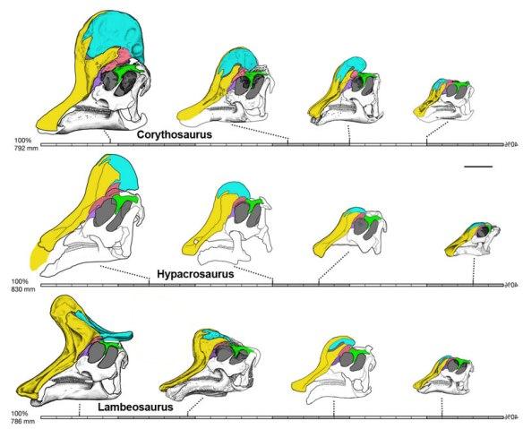 Lambeosaur ontogeny