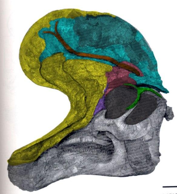 Lambeosaurus skull bones colorized.