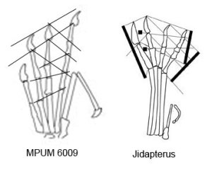 The reduction of phalanges 3.2, 4.2 and 4.3 in derived pterosaur feet.