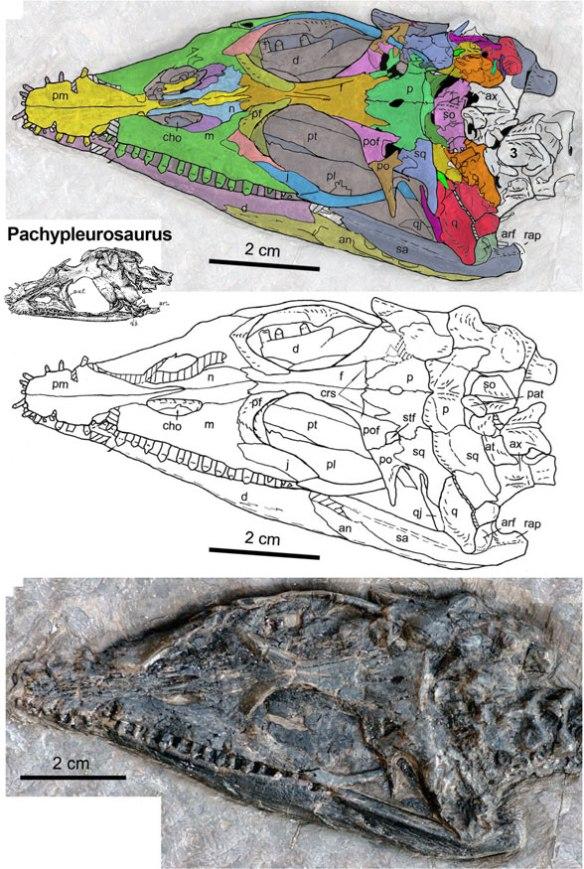 The skull of Qinxiansaurus.