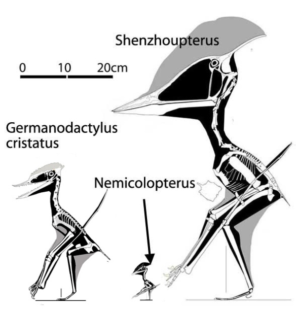 Figure 1. Germanodactylus cristatus and members of the Shenzhoupteridae, Nemicolopterus and Shenzhoupterus.