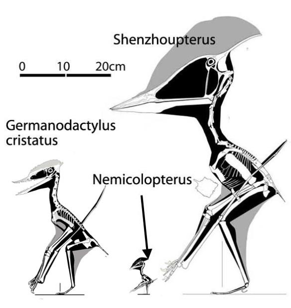 Figure 1. Germanodactylus cristatus and members of the Shenzhoupteridae, Nemicolopterus and Shenzhoupterus.
