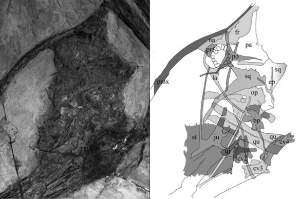 Shenzhoupterus skull in situ with elements identified.