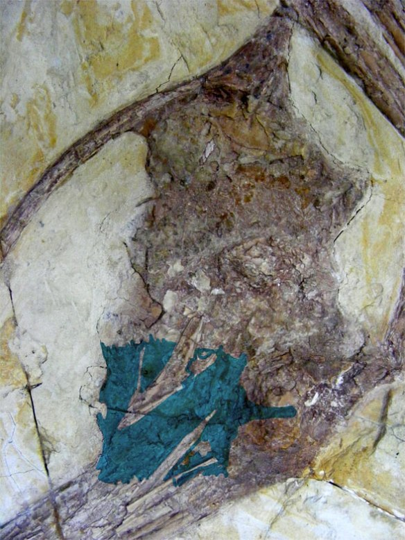 Shenzhoupterus skull in situ with sternum in blue.
