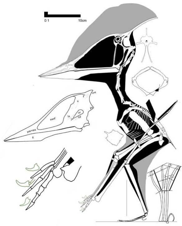 Shenzhoupterus reconstructed alongside original interpretation of skull.