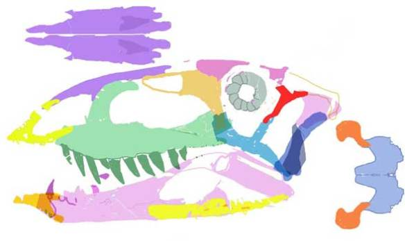 Colorized elements restored to a best fit reconstruction of the skull of Ticinosuchus. Note the toothless premaxilla. This and dozens of other traits nest Ticinosuchus at the base of the Aetosauria.