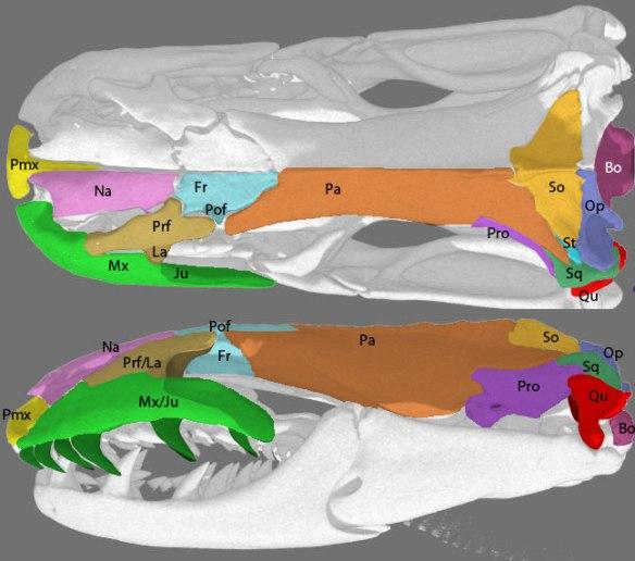 Anilius skull