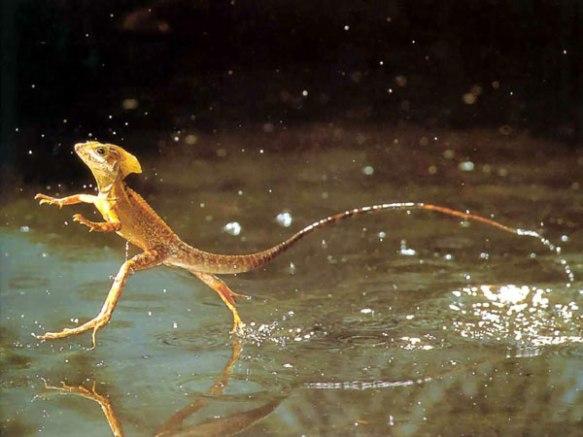 Basilisk walking on water.