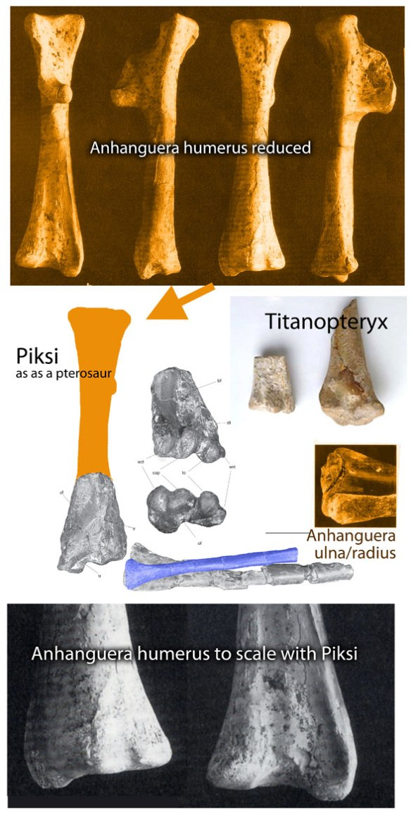 Comparing the elbow of Piksi with the same bones in Anhanguera.