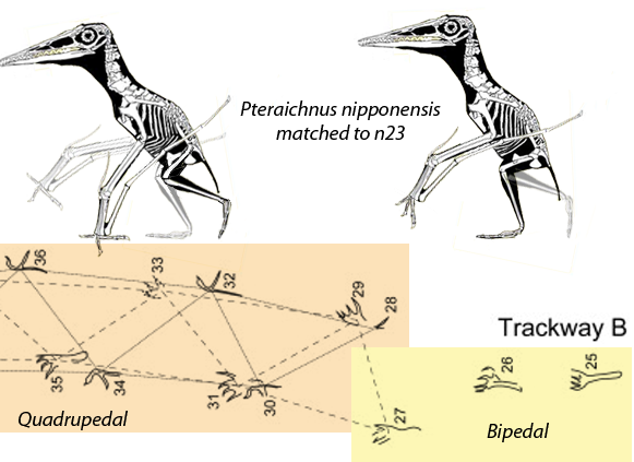 Figure 1. Pteraichnus nipponensis, a pterosaur manus and pes trackway, matched to n23, ?Pterodactylus kochi (the holotype), a basal Germanodactylus.