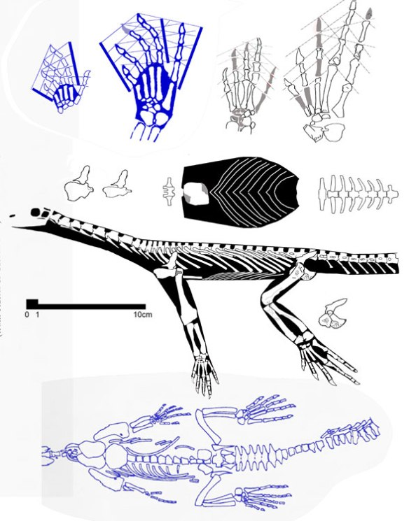 Tangasaurus in long-necked variety and short-necked lectotype (in blue).