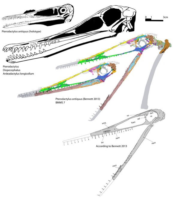 BMMS 7 the new Pterodactylus
