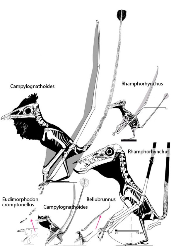 he tail of Eudimorphodontidae, including Campylognathoides and Rhamphorhynchus.