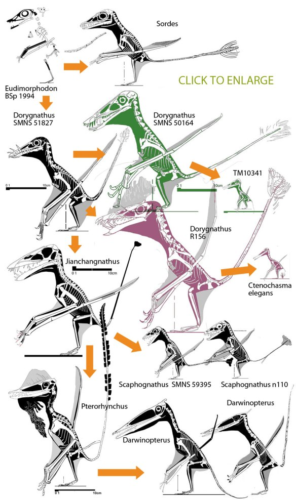 The Dorygnathus clade and the pterosaurs AND their tails that descended from it.