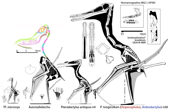 Figure 2. Click to enlarge. At right, Pterodactylus antiquus and a larger Pterodactylus, P. longicollum, once called Diopecephalus and now called Ardeadactylus. At left are P. micronyx now referred to Aurorazhdarcho.  The big Pterodactylus is definitely a new genus, but (other than the new specimen BMM 00007, see below) it is also the closest known sister taxon to the holotype of Pterodactylus, the first pterosaur officially named and describee. So, given that fact what do you call all the other smaller Pterodactylus that look more like P. antiquus, but nest further away (more primitively)? Aurorazhdarcho actually nests with Eopteranodon at the base of Nyctosaurus + Pteranodon, not with azhdarchoids. P. micronyx actually nests with other tiny cycnorhamphids. So they are not related, despite similarities in the too small inclusion set used by Bennett (2013).