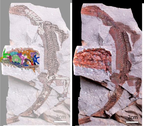 Figure 1. Click to enlarge. The Early Permian reptile (TA1045) preserved in volcanic debris, from Roßler et al. 2012. Yes, those are transverse belly scales beneath the ribs.It looks like the complete rostrum was preserved, right to the edge of the matrix. This image is considered low in resolution. More details can be gleaned with better images.