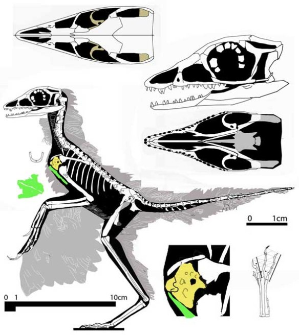"Figure 1. Eosinopteryx reconstructed in lateral view. Soft tissue impressions preserved on the fossil are represented here in gray. Note the small size of the coracoid (yellow) and its curved lower rim, which indicates this specimen was a pre-flapping dinosaur. Pedal digit 2 was not modified as a ""killing"" claw. Elements figured with DGS."