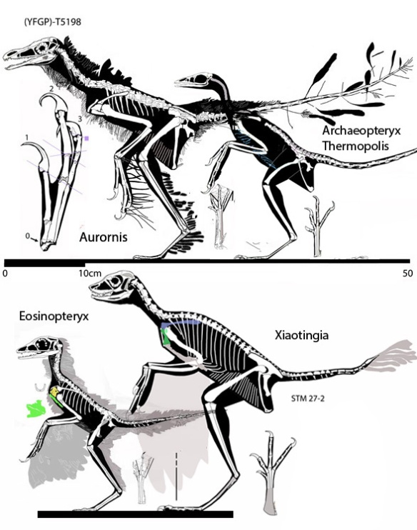 Figure 1. Eosinopteryx and kin, including Xiaotingia, Aurornis and Archaeopteryx (Thermopolis).