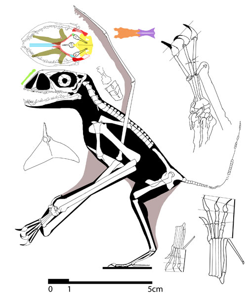 Reconstruction of the new Dendrorhynchoides mutoudengensis