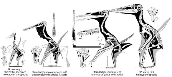 Figure 1. Pterodactylus antiques and the holotypes of P. micronyx, P. kochi and a fourth pterosaur commonly misidentified as P. kochi.