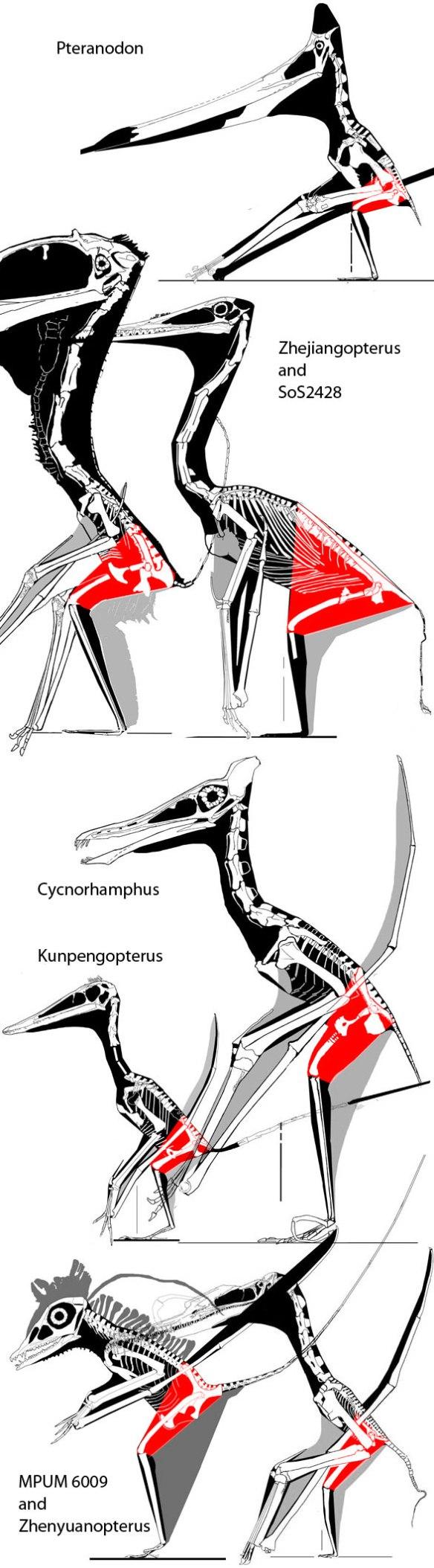 Pterosaur thighs