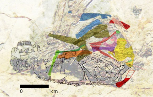 Tracing and colorizing of skull elements in the new Dendrorhynchoides.