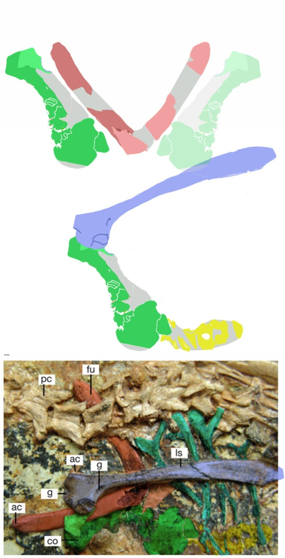 Figure 2. Xiaotingia is an outgroup taxon to basal birds. The left coracoid is broken and reconstructed here. The coracoid should be as deep as the furcula. The coracoid is longer here than in Eosinopteryx implying a greater ability to flap.