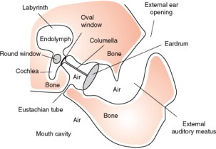 Bird middle ear cross section. The stapes is the only bone in the link.