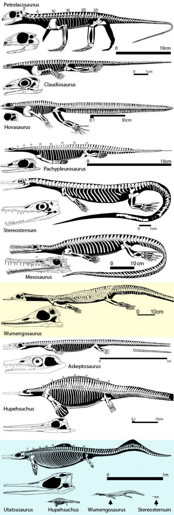 Figure 2. Click to enlarge. The origin of ichthyosaurs and thalattosaurs from basal diapsids and basal mesosaurs. Relationships are rather apparent when seen in this context.
