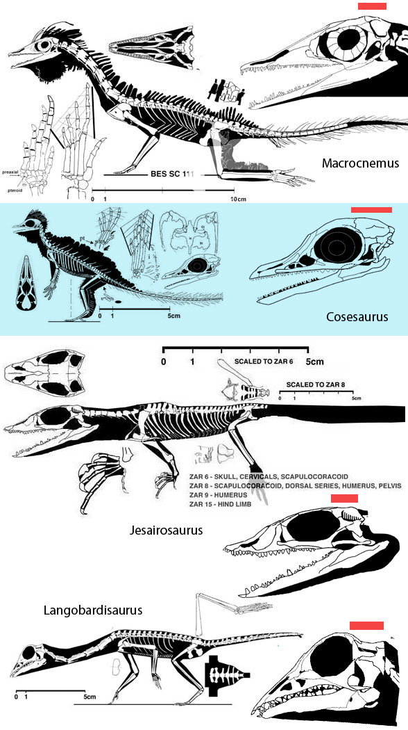 Figure 1. Various tritosaur lizards shown to scale and their skulls portrayed to the same snout-occiput length. Red line represents the estimated cranial length. Note that in Cosesaurus, not only is the length longer, but the dorsal bulge is greater.
