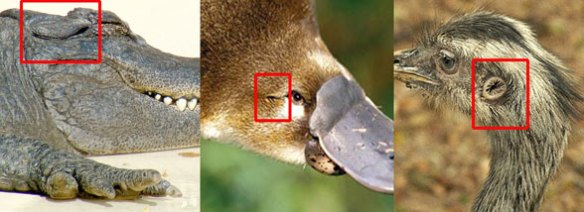 The ear in three living archosauromorphs, crocs, mammals and birds.
