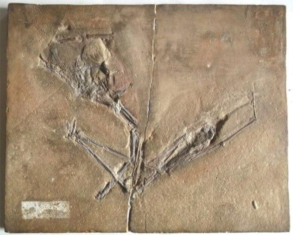 Dublin-Pterodactylus800