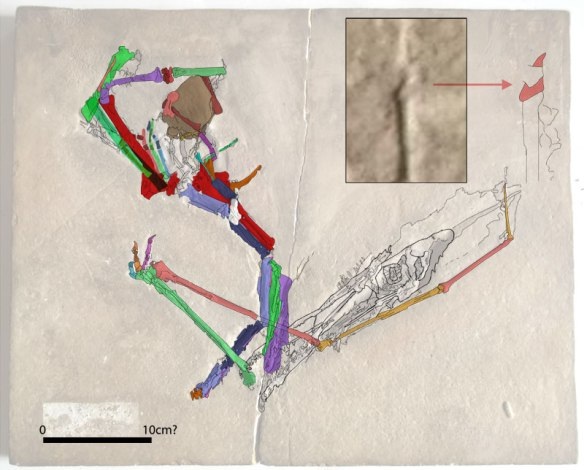 Figure 2. Click to enlarge. Dublin Solnhofen Pterodactylus cast with certain bones colorized and outlined. The wing ungual is enlarged and inset.