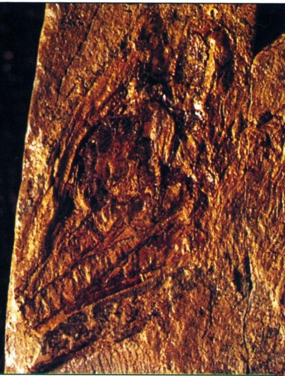 The skull of Longisquama in situ.